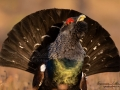 tjader_ipnaturfoto_capercaillie_se_forest_fo622