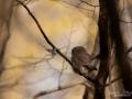 uggla_sparvuggla_pygmy_owl_sperlingskauz_ipnaturfoto_se_rf163