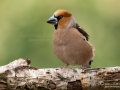 stenknack_hawfinch_ipnaturfoto_se_ft503