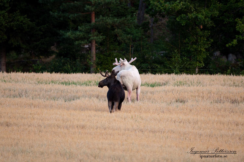 alces_svensk_jakt_ipnaturfoto_leucism_albino_spiritmoose_moose_elch_ingemar_pettersson_va447