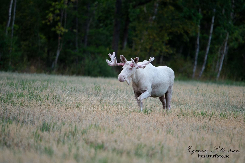 alces_svensk_jakt_ipnaturfoto_leucism_albino_spiritmoose_moose_elch_ingemar_pettersson_va449