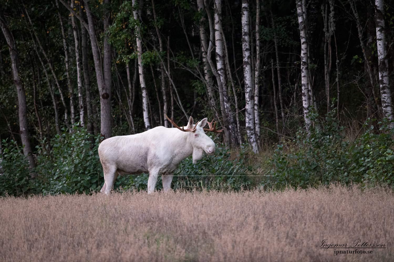 alces_svensk_jakt_ipnaturfoto_leucism_albino_spiritmoose_moose_elch_ingemar_pettersson_va459