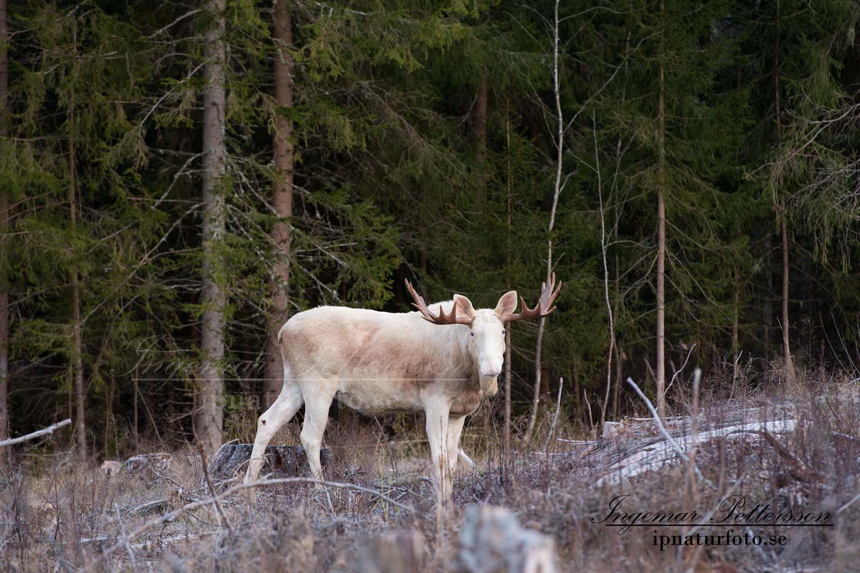 alg_vit_ipnaturfoto_se_white_moose_elce_va261