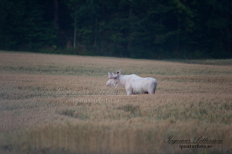 elch_alces_jordbruk_spannmal_ipnaturfoto_sagoalg_whitemoose_white_moose_vitalg_vit_alg_va310