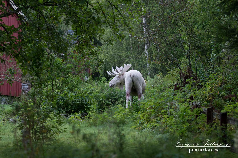 elch_leucism_alg_algjakt_albino_whitemoose_white_moose_spirit_moose_ipnaturfoto_vit_alg_vitalg_va326