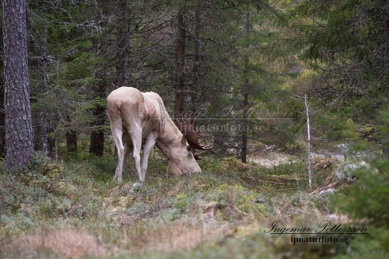 elch_moose_vit_alg_whitemoose_ipnaturfoto-se_va273