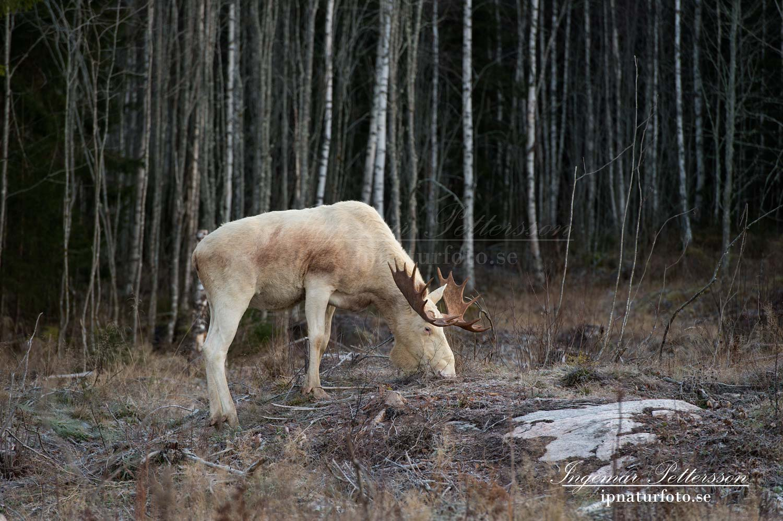 elch_whitemoose_moose_ipnaturfoto_se_va262