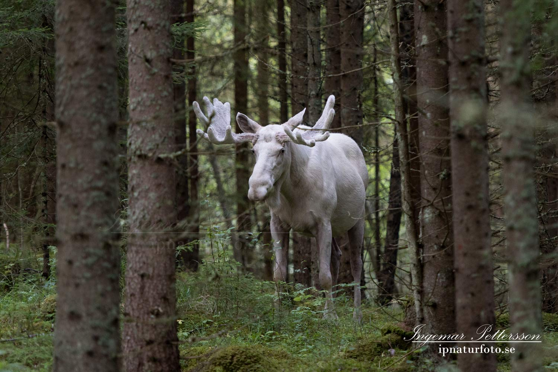ipnaturfoto_se_white_moose_whitemoose_spiritmoose_sagoalg_alg_alces_vit_alg_vitalg_va318