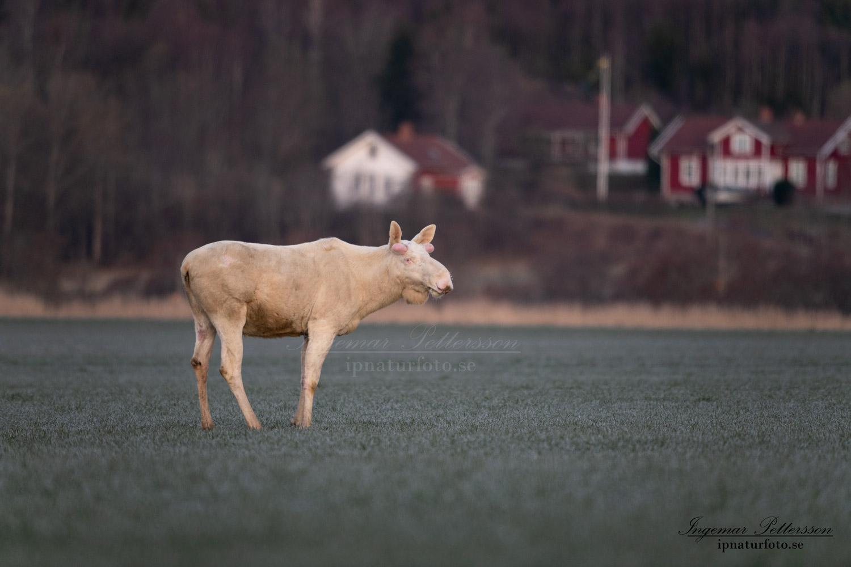 jordbrukslandskap_white_moose_vit_alg_tjur_algjakt_jakt_ipnaturfoto_se_va470