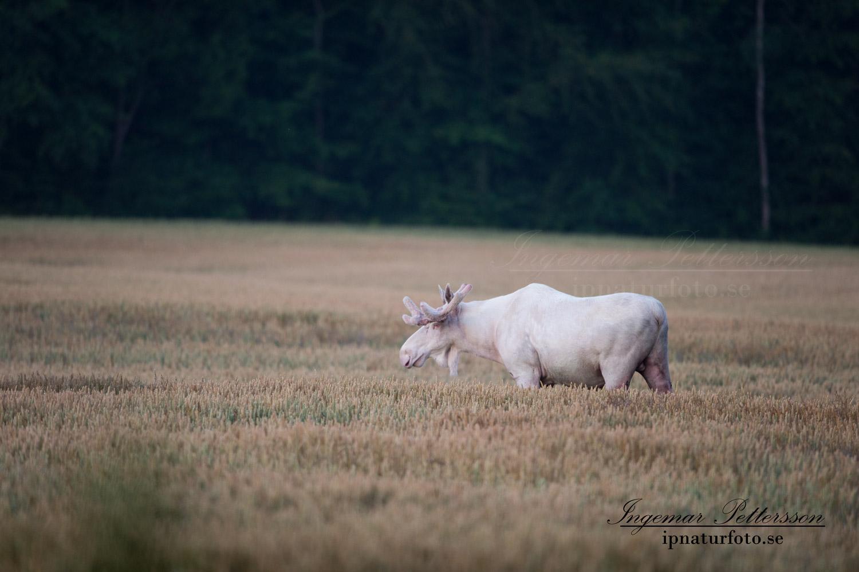 lantbruk_vitalg_alg_spiritmoose_whitemoose_white_moose_ipnaturfoto_ingemar_vit_alg_va306