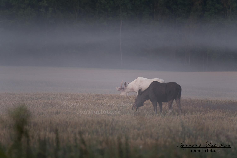 leucism_moose_vit_alg_vitalg_sagoalg_white_moose_whitemoose_spiritmoose_spirit_va314