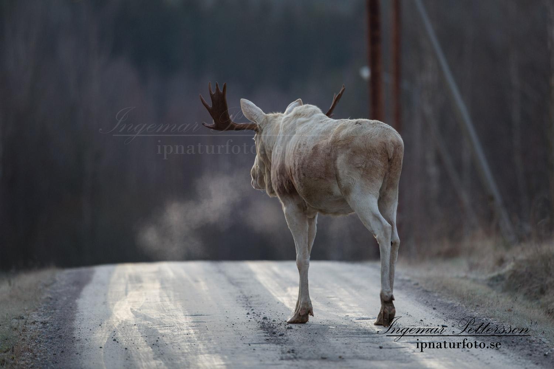 leucism_vit_alg_white_moose_alces_elch_ipnaturfoto_se_va291