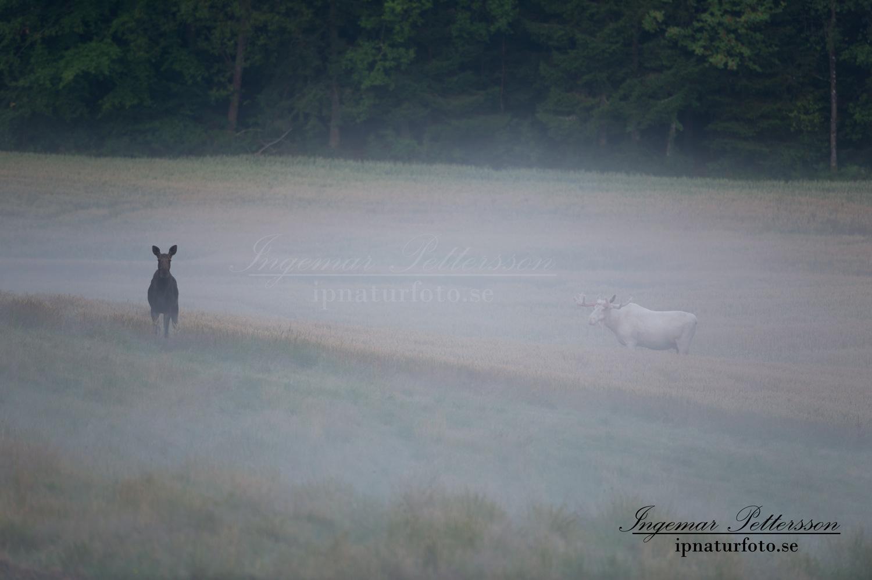 spirit_moose_spiritmoose_vit_alg_vitalg_alces_elch_ingemar_pettersson_ipnaturfoto_va311