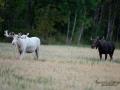 alces_svensk_jakt_ipnaturfoto_leucism_albino_spiritmoose_moose_elch_ingemar_pettersson_va450