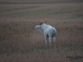 alces_svensk_jakt_ipnaturfoto_leucism_albino_spiritmoose_moose_elch_ingemar_pettersson_va458