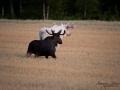 lantbruk_vitalg_alg_spiritmoose_whitemoose_white_moose_ipnaturfoto_ingemar_vit_alg_va446