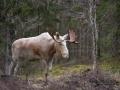 leucism_whitemoose_moose_alces_ipnaturfoto_se_vitalg_va280