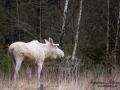 moose_tjur_vit_alg_leucism_ipnaturfoto_va401