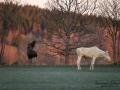 spirit_moose_white_moose_vit_alg_algtjur_vitalg_whitemoose_leucsim_ferdinand_sagoalg_va483