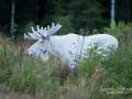 vit_alg_ipnaturfoto_moose_va240