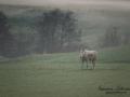 vit_alg_leucism_albino_spirit_moose_vitalg_whitemoose_elch_alces_ingemar_pettersson_bohuslan_va376