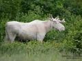 vit_alg_spirit_moose_white_moose_ingemar_pettersson_tjur_ipnaturfoto_se_va300