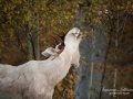 vit_alg_spirit_moose_white_moose_ingemar_pettersson_tjur_ipnaturfoto_se_va336