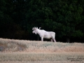 vit_alg_unicorn_white_moose_weißer_Elch_Sverige_munkedal_ipnaturfoto_se_va441