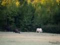 vit_alg_unicorn_white_moose_weißer_Elch_Sverige_naturfoto_ipnaturfoto_se_va430