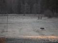 vit_alg_vitalg_white_moose_whitemoose_leucism_landskap_frost_ipnaturfoto_se_va485