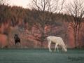 vit_alg_white_moose_elch_spirit_moose_vitalg_algtjur_klovvilt_ipnaturfoto_se_va480