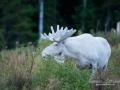 vit_alg_white_moose_ipnaturfoto_se_va242