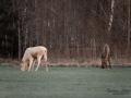 vit_alg_white_moose_leucism_albino_sverige_unicorn_ipnaturfoto_se_elch_va479