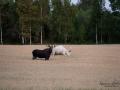 vit_alg_white_moose_weißer_Elch_leucism_albino_natur_unik_va454