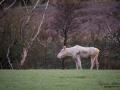 weißer_Elch_white_moose_vit_alg_algtjur_leucism_albino_Bohuslan_Munkedal_Sverige_va415