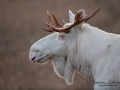 white_moose_alces_svensk_jakt_ipnaturfoto_leucism_albino_spiritmoose_moose_elch_ipnaturfoto_brunst_lock_alglock__va460