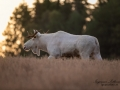 white_moose_motljus_spannmal_alces_svensk_jakt_ipnaturfoto_leucism_albino_spiritmoose_moose_elch_ipnaturfoto_se_va463