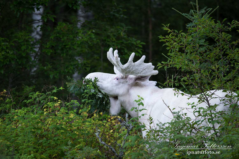 varmland_spiritmoose_leucism_albino_albinoalg_ipnaturfoto_se_sagoalg_enhorning_unicorn_ipnaturfoto_se_va323