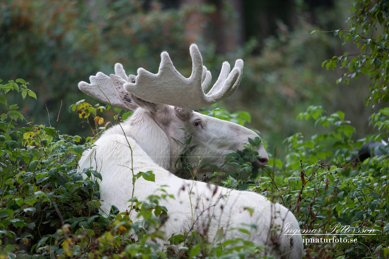 varmland_vit_alg_vitalg_spiritmoose_moose_sagoalg_white_moose_ipnaturfoto_se_va321