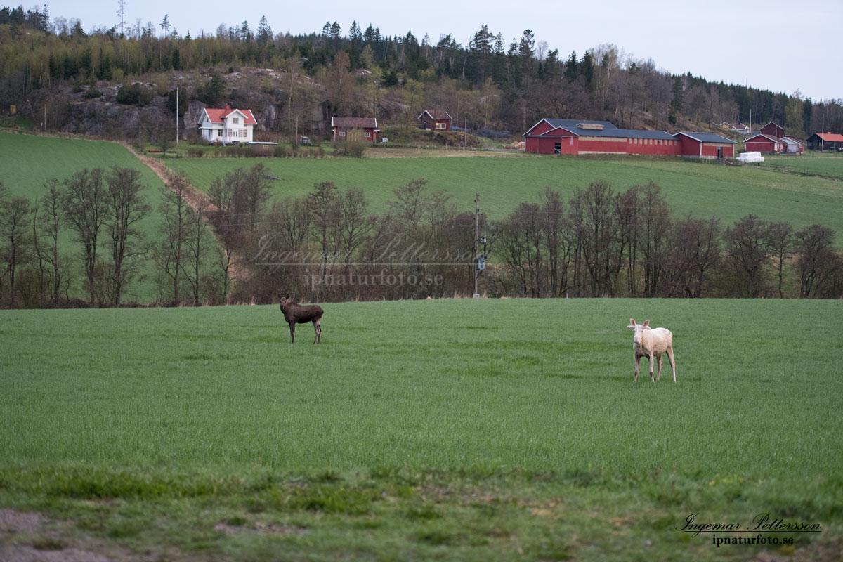 vit_alg_elch_spirit_moose_naturfilm_ipnaturfoto_va402