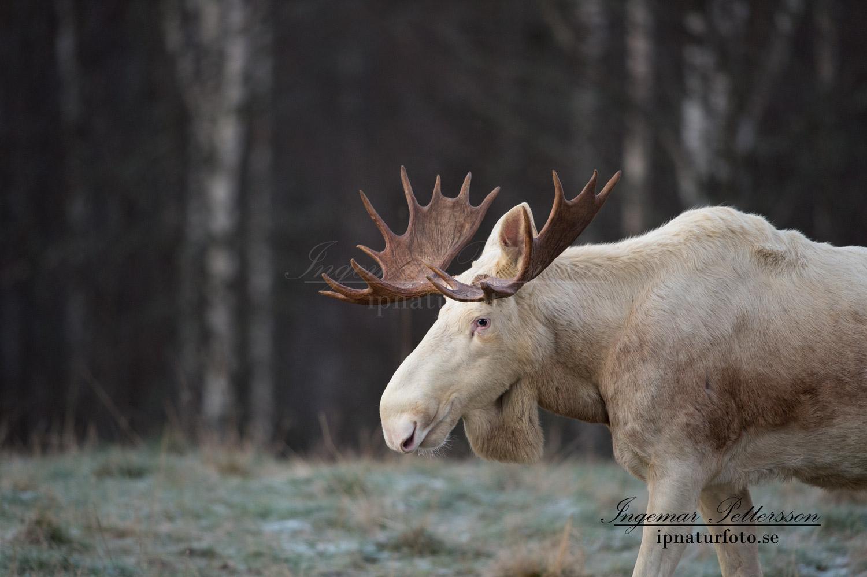vit_alg_ipnaturfoto_se_ingemar_pettersson_moose_alces_va290