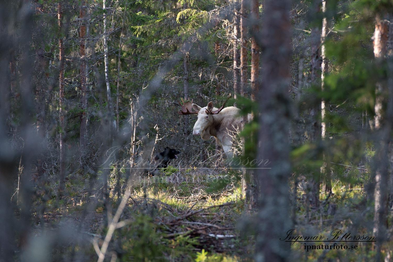 vit_alg_ipnaturfoto_se_varmland_standskall_va134