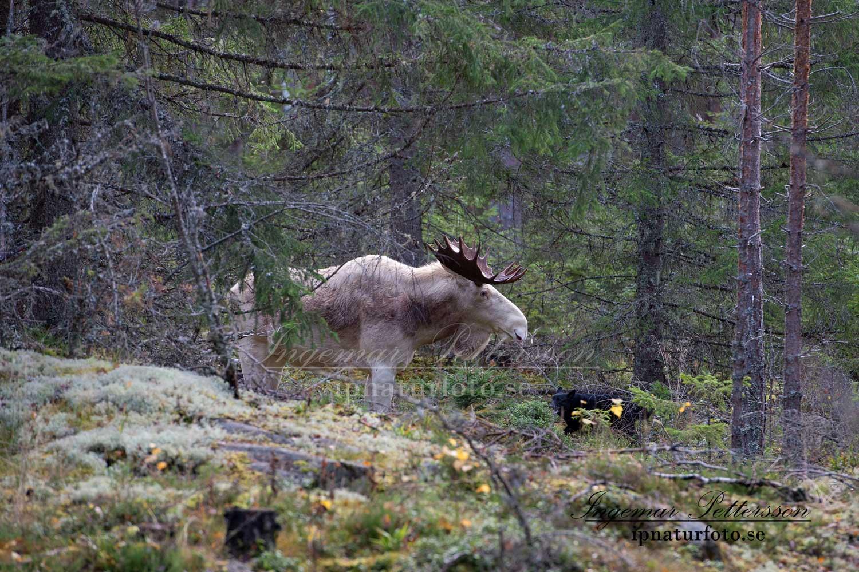 vit_alg_ipnaturfoto_se_varmland_standskall_va139