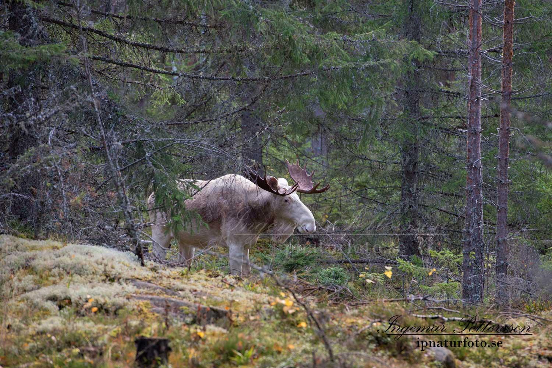 vit_alg_ipnaturfoto_se_varmland_va138