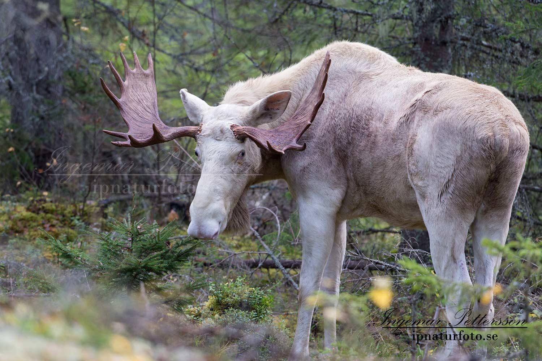 vit_alg_ipnaturfoto_se_varmland_va141