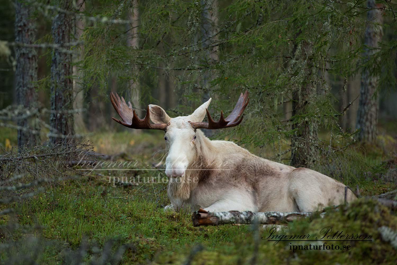 vit_alg_ipnaturfoto_se_varmland_va154