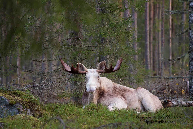vit_alg_ipnaturfoto_se_varmland_va157