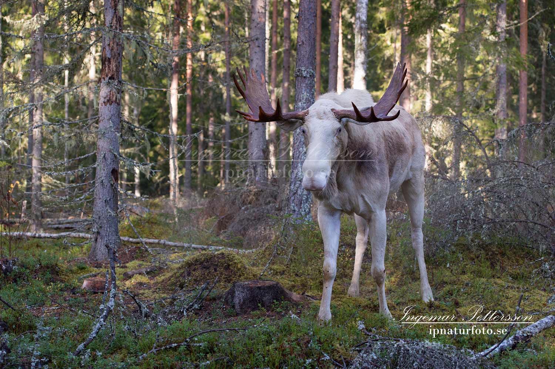 vit_alg_ipnaturfoto_se_varmland_va165