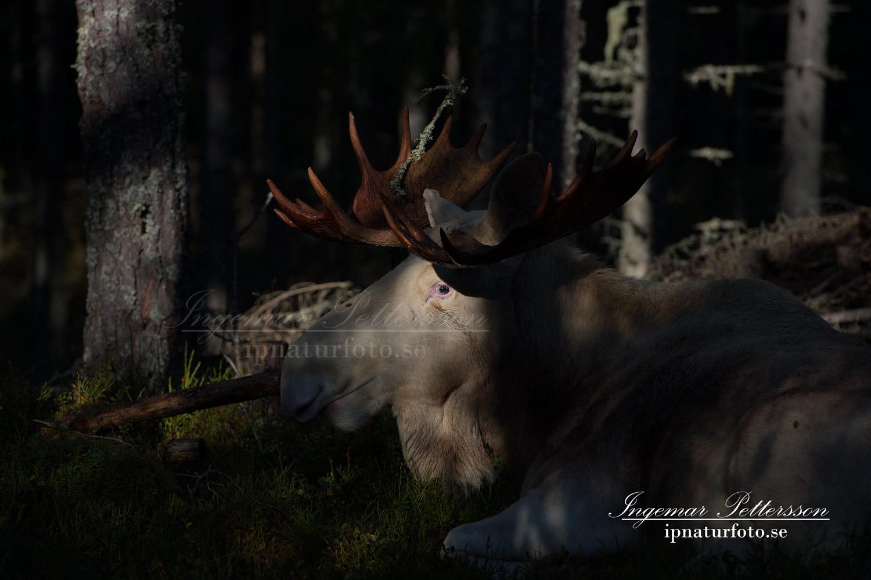 vit_alg_ipnaturfoto_se_varmland_va181