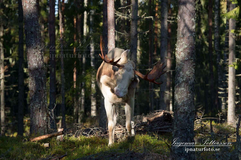 vit_alg_ipnaturfoto_se_varmland_va183